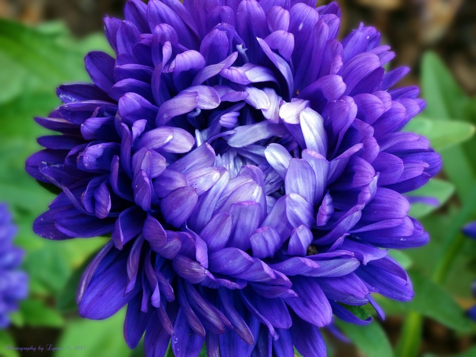 Blue Petals is a beautiful Chinese Aster.This particular flower is native to China and Korea. It ...