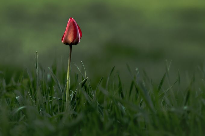 One tulip alone by JCSimoes - Rule Of Thirds In Nature Photo Contest
