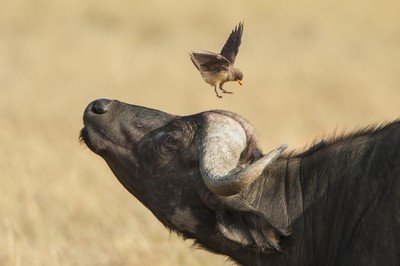 Buffalo and Bird