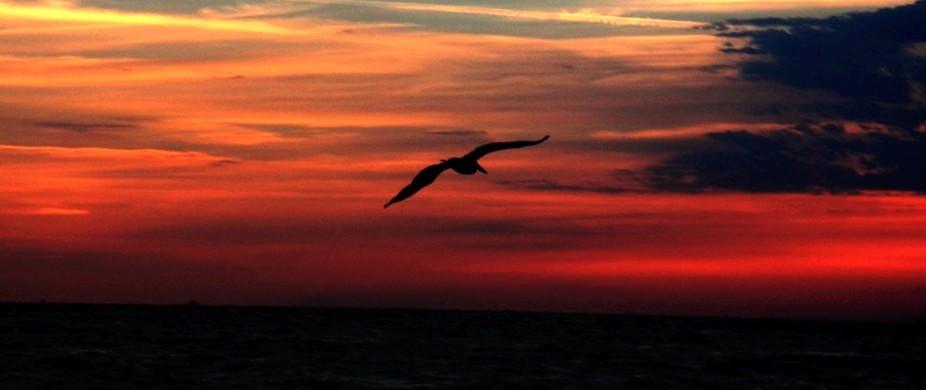 Pelican overhead at dawn Anna Maria island