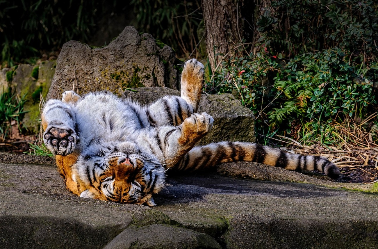 Image was captured at the Oregon Zoo, in Portland, Oregon. The Bengal Tiger was especially playful on this particular day.