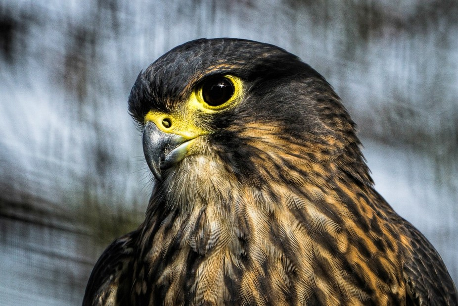 NZ Falcon