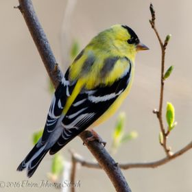 American Goldfinch Spring Plumage-16