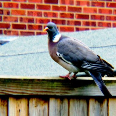 Pigeon on fence.