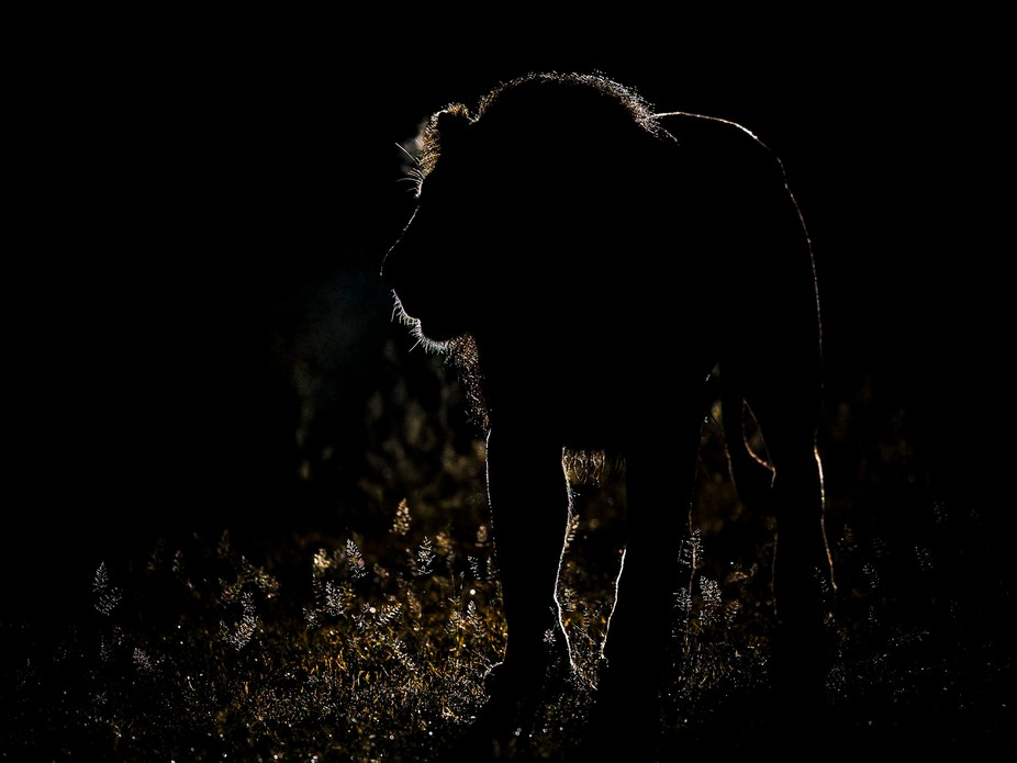 After stalking this Lion through the night I managed to get a sharp shot of him exhaling in the c...