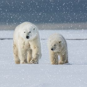 Walking side by side and step by step this polar bear Mother and her cub walk towards me