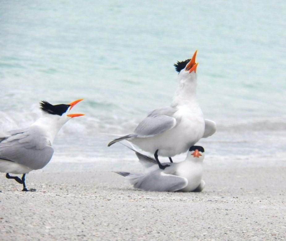 MatingRoyal Terns on Anna Maria beach