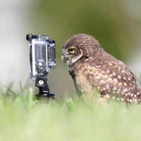 Florida Burrowing Owlet staring at a GoPro