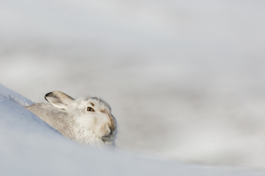 Winter hare chilling out in the winter sun