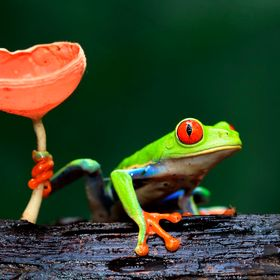 Red-Eyed Tree Frog holding onto a Wine Glass Mushroom in Costa Rica.