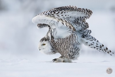 Snowy owl 1-