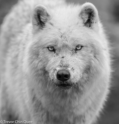 The Hypnotic eyes of an Artic Wolf