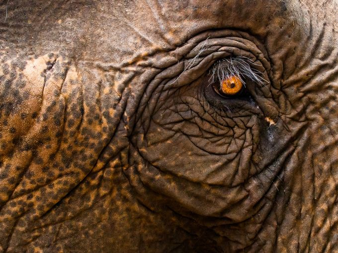 Elephant Eye, Cambodia by GeoffColeImages - Large Photo Contest