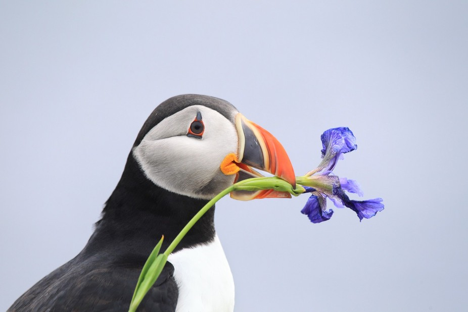 Atlantic Puffin with wild iris which was collected to present to his mate for nesting material.