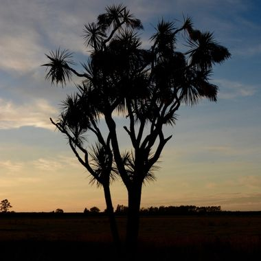 Cabbage tree at sunup