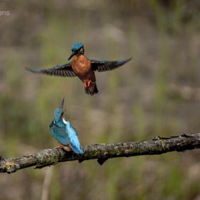 A couple kingfishers mating , the male il make an impression on the female