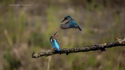A couple off kingfishers