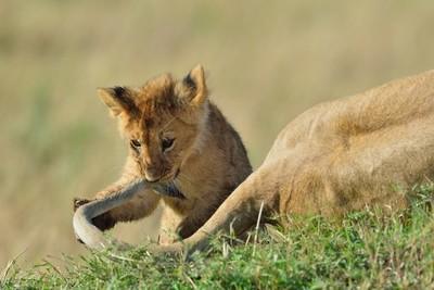 Lion cub playing ....Masai Mara 20130001-105172