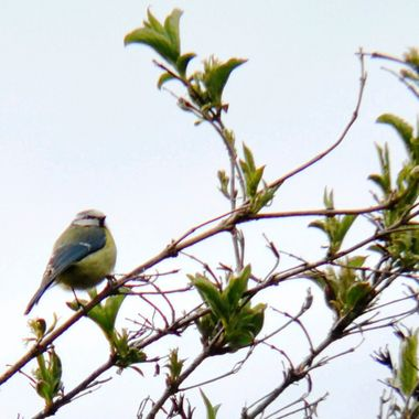 Blue Tit on a bush at Martham, Norfolk,UK.
