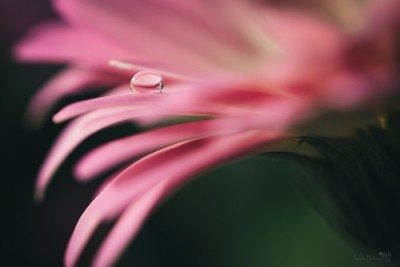 Water Drop on Petal