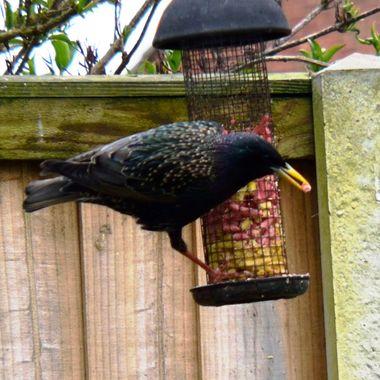 Starling feeding on suet pellets from a bird feeder.