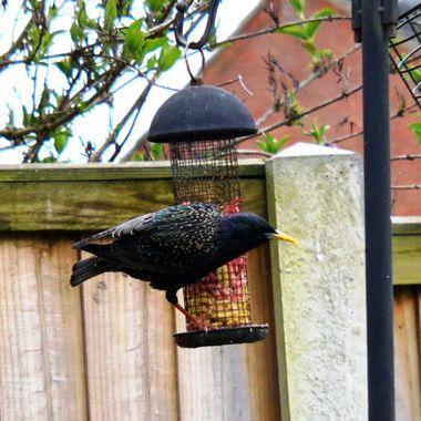 Starling on a bird feeder.