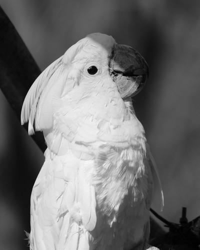 Pose of a Cockatoo