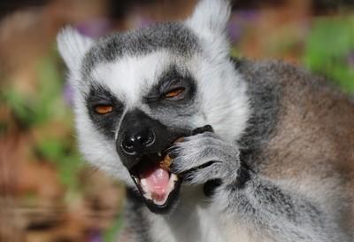 Lemur snack