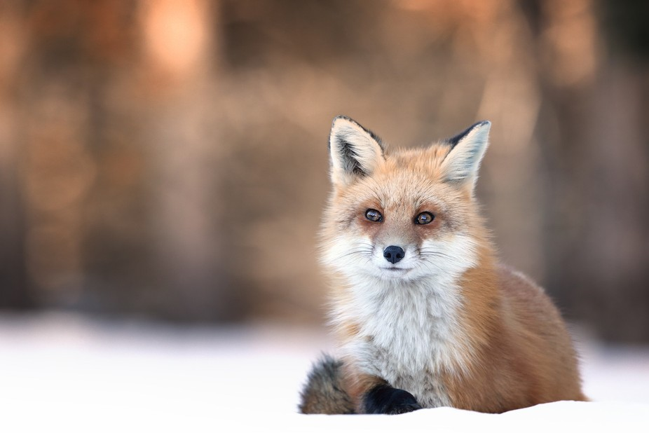 Red Fox in Ontario, Canada