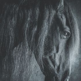 A beautiful Friesian horse, photographed in his stable.