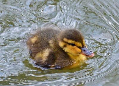 Spring Duckling