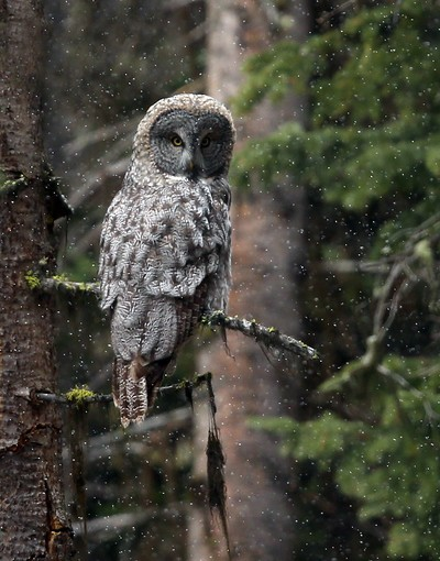 Great Gray Owl in Snowfall
