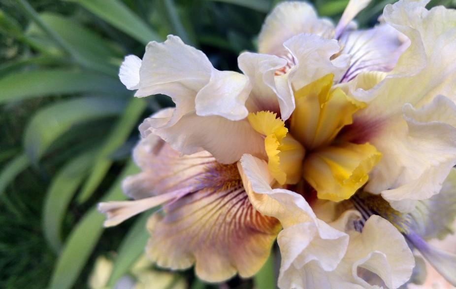 First bloom in my garden 2016 mixed iris bed