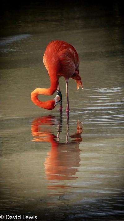 Flaming Flamingo.