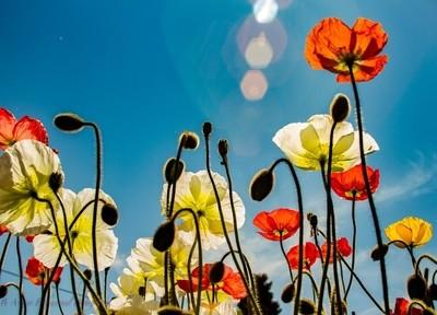 Skyward poppies