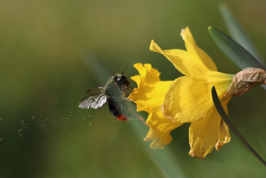 Bumble Bee with pollen trail
