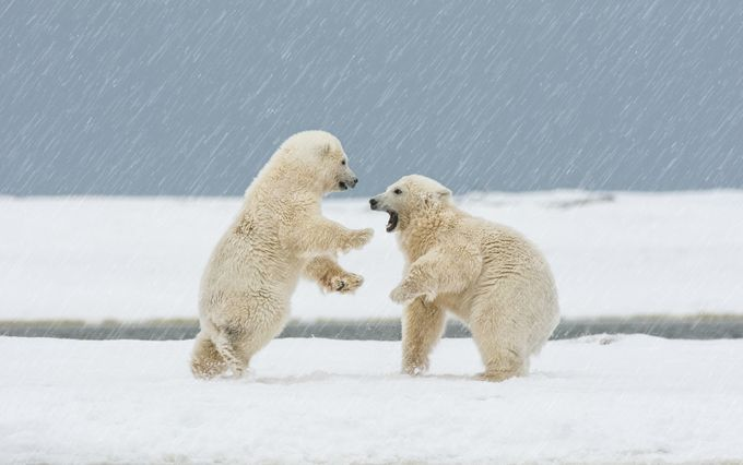 Play Time by scottwickward - Bears Photo Contest