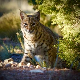 Bob Cat, Sunrise Santa Fe NM 2015