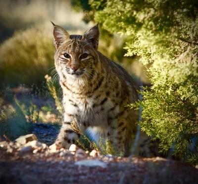 Bob Cat, Sunrise Santa Fe NM 2015