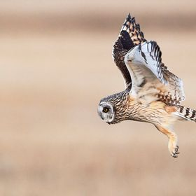 A Short eared owl at sunset zeroing in on his prey.