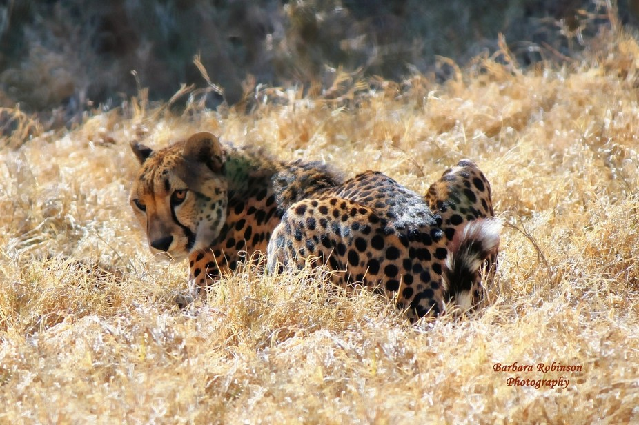 Two seconds after I took this photo, this cheetah slapped its left front paw onto the ground and ...
