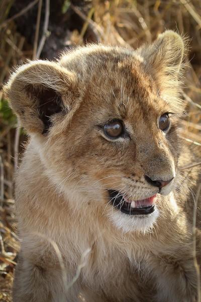 Lost Lion Cub
