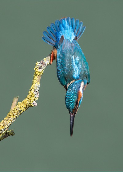 Male Kingfisher taking a dive