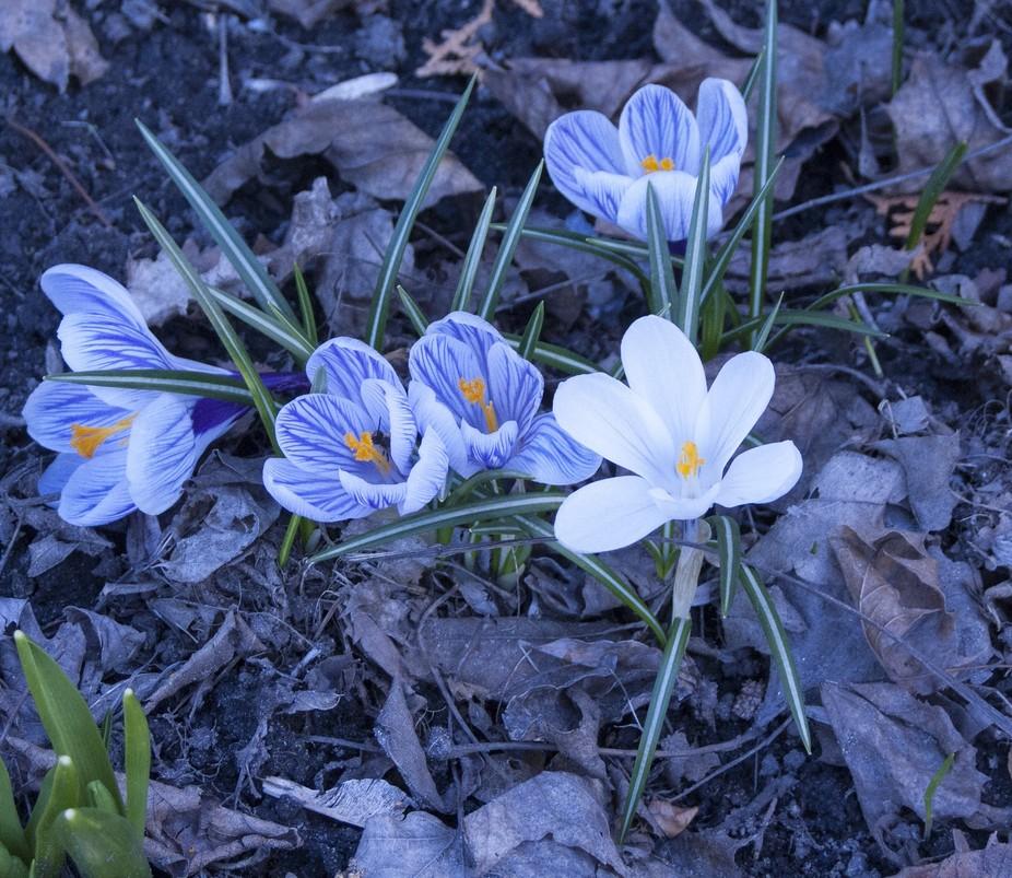 First Flowers in Montreal / Les premières fleurs à Montréal