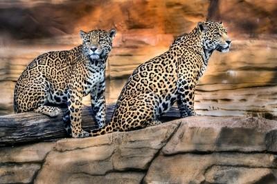 The Curious Jaguars.