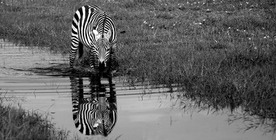 Zebra's golden ratio