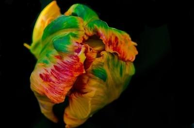 Ruffled Tulip Bud