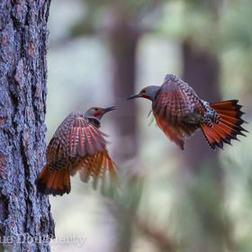 Flickers courting in circles around the Ponderosas!!