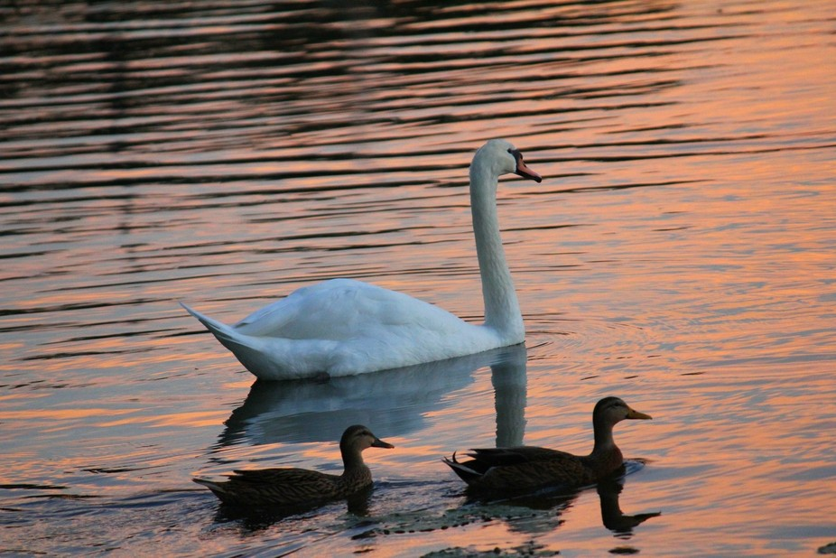 Swan and two ducks