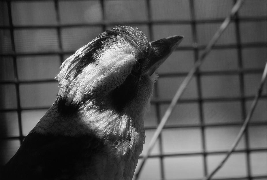 Kookaburra B&W
